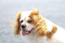 Our King Charles Spaniel Stock Photo
