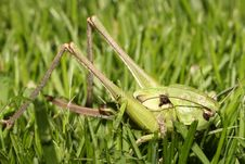 Free Grasshopper Stock Photography - 886092