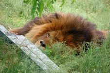 Free Tired Lion Royalty Free Stock Photos - 886478