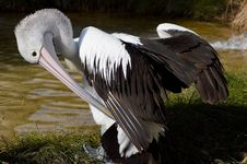 Pelican With Wings Outstretched Royalty Free Stock Images
