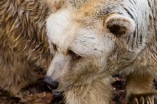 Free Brown Bear Closeup Stock Image - 887371