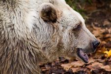 Free Candid Brown Bear Royalty Free Stock Images - 887389