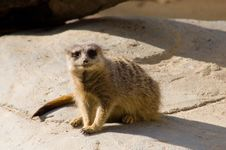 Free Lonesome Meerkat Stock Images - 887394