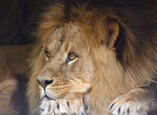 Free Male Lion Stock Photos - 887943