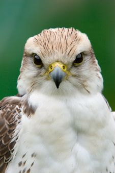 Free Inquisitive Falcon Royalty Free Stock Images - 888059