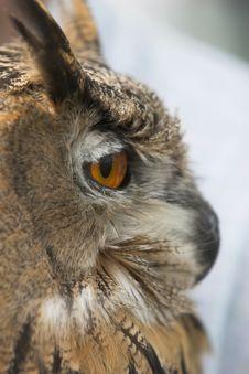 Free Eagle Owl Royalty Free Stock Photo - 888235