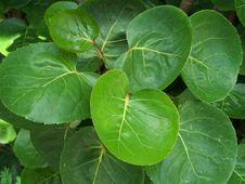 Free Cupped Leaves Stock Images - 888794