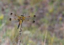 Free Golden Dragonfly Resting On The Dry Blade Royalty Free Stock Photos - 888868
