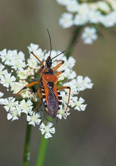 Free Close-up Of Orange Assassin Bug On White Flower Stock Photography - 888872