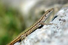 Free Gecko Stock Photos - 889653