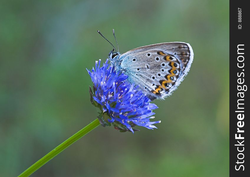 Blue Butterfly On Blue Flower Free Stock Images Photos 888867