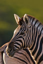 Free Zebra Stock Photos - 8802653