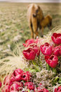 Free Many Red Tulips With Two Horses Royalty Free Stock Image - 8802936