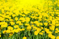 Free Yellow Dandelions Royalty Free Stock Photography - 8809977