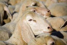 Free Sheep Royalty Free Stock Photo - 8801575