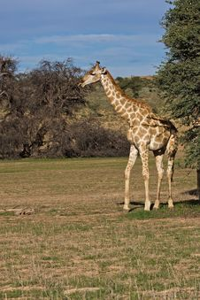 Free Giraffe Stock Photos - 8801923