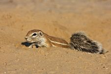 Free Ground Squirrel Royalty Free Stock Image - 8801936