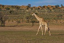 Free Giraffe Stock Image - 8801981