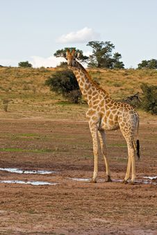 Free Giraffe Royalty Free Stock Images - 8802089