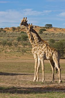 Free Giraffe Stock Image - 8802191