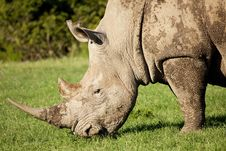 Free White Rhino Royalty Free Stock Images - 8802239