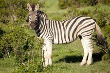 Free Burchell Zebra Stock Images - 8802294