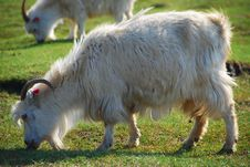 Free Goat And Grass Stock Image - 8802361