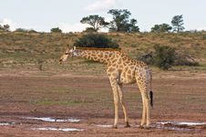 Free Giraffe Stock Photography - 8802542