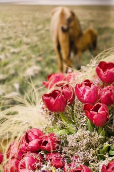 Many Red Tulips With Two Horses Royalty Free Stock Image