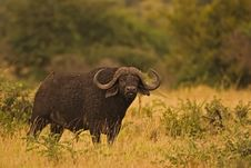 Free Buffalo Royalty Free Stock Images - 8803079
