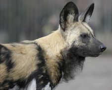Free Hyena Royalty Free Stock Photos - 8803198