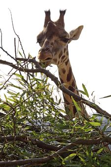 Free Giraffe At The Meal Stock Images - 8803364
