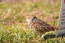 Free A Burrowing Owl Waits Outside His Burrow Royalty Free Stock Image - 8803586