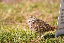Free A Burrowing Owl Watches A Bald Eagle Flying Past Stock Photography - 8803612
