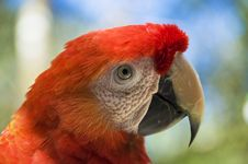 Free Scarlet Macaw Stock Photography - 8804322