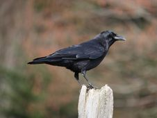 Free American Crow Royalty Free Stock Image - 8806376