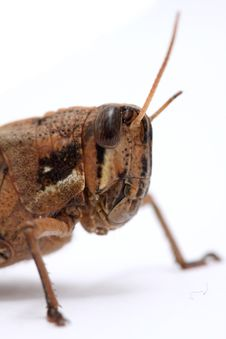 Free Grasshopper Stock Images - 8806404