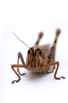Free Grasshopper Stock Image - 8806411