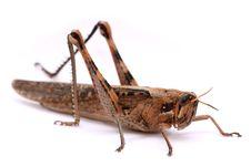 Free Grasshopper Stock Images - 8806414