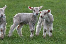 Free Baby Lambs Royalty Free Stock Image - 8807466