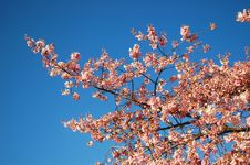 Free Cherry Blossoms Royalty Free Stock Image - 8807476