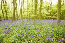 Free Bluebell Wood Royalty Free Stock Photography - 8808447