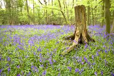Free Bluebell Wood Royalty Free Stock Image - 8808476