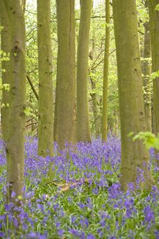 Free Bluebell Wood Stock Photo - 8808500