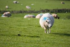 Free Sheep Stock Photo - 8808600