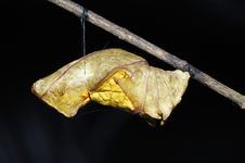 Free Butterfly Pupa - Golden Bird-Wing Royalty Free Stock Images - 8809929
