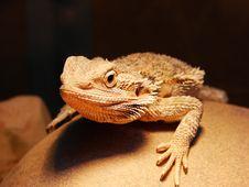 Free Bearded Dragon Royalty Free Stock Photo - 8809985