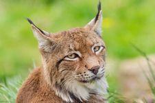Free Lynx Royalty Free Stock Photo - 88032415