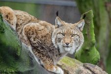 Free Lynx Royalty Free Stock Image - 88032506