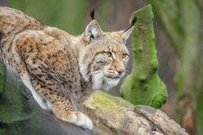 Free Lynx Royalty Free Stock Photo - 88032605